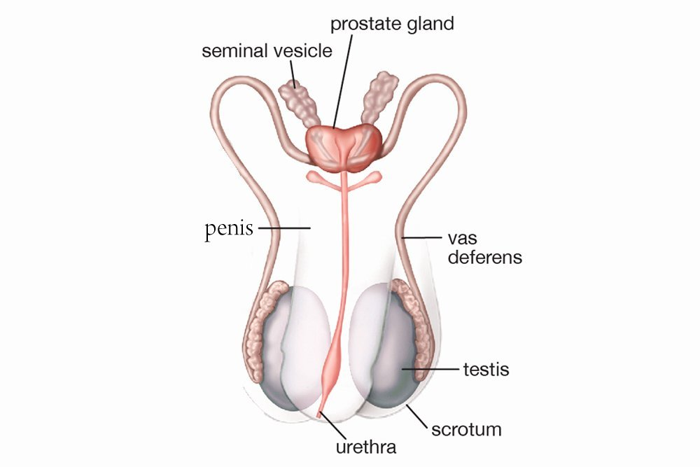 Female  U0026 Male Reproductive System  Organs  Diagram  Function  U0026 Working
