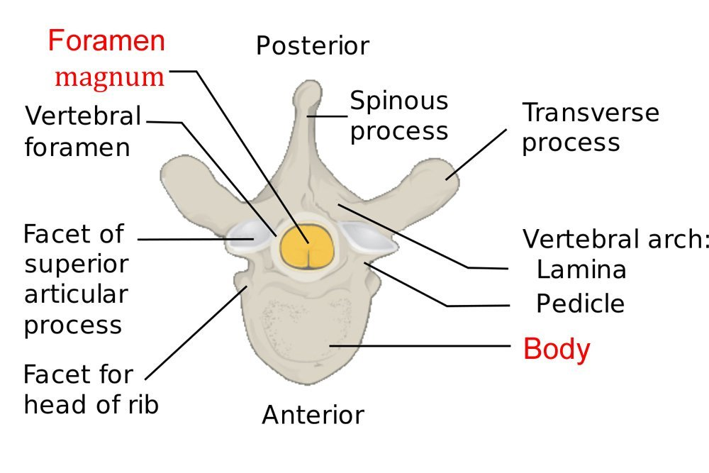 typical vertebra