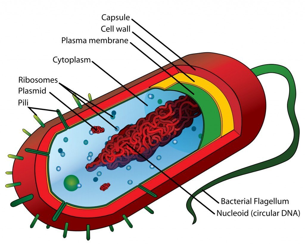 Average prokaryote cell