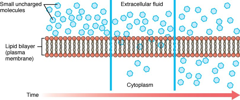 Simple_Diffusion_Across_Plasma_Membrane