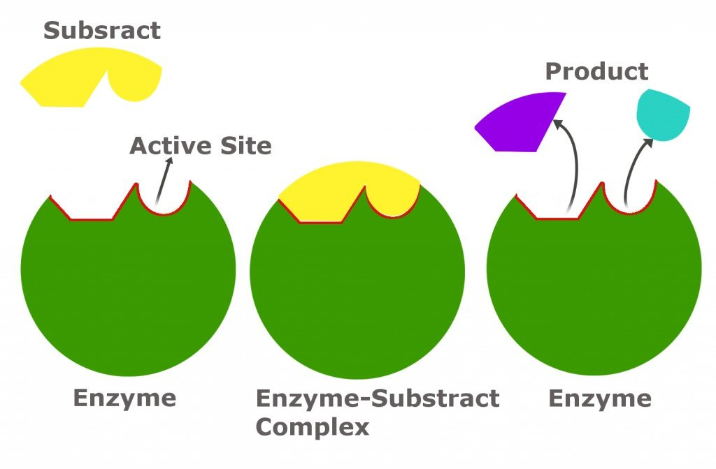 Diagram of an enzyme, substrate and product