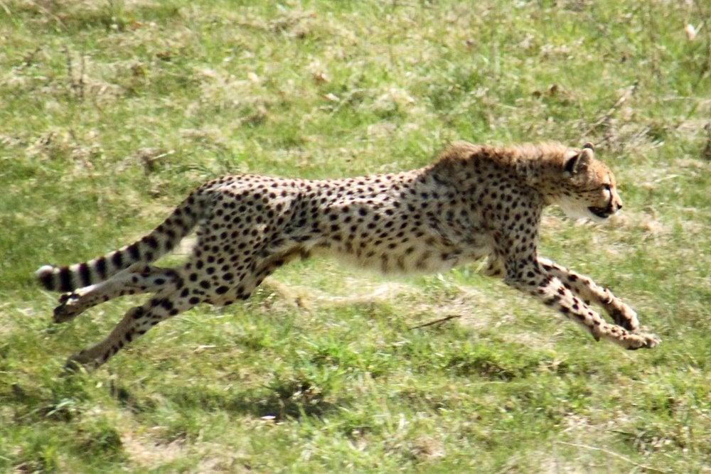 cheetah, cheetah running