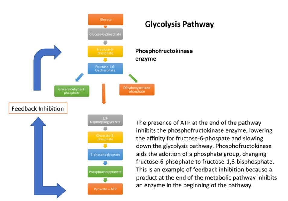 feedback inhibition in glycolysis