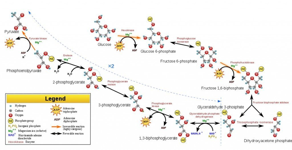 glycolysis process