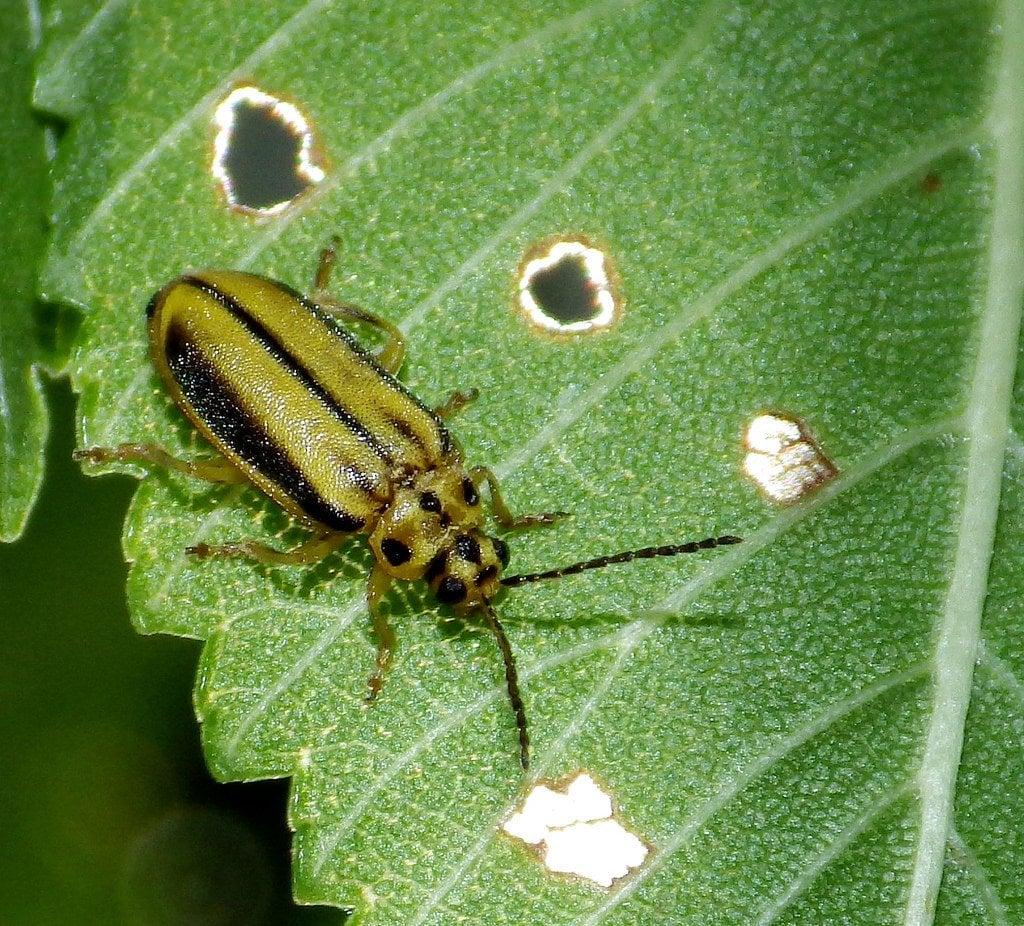 Elm Leaf beetle, Xanthogaleruca luteola