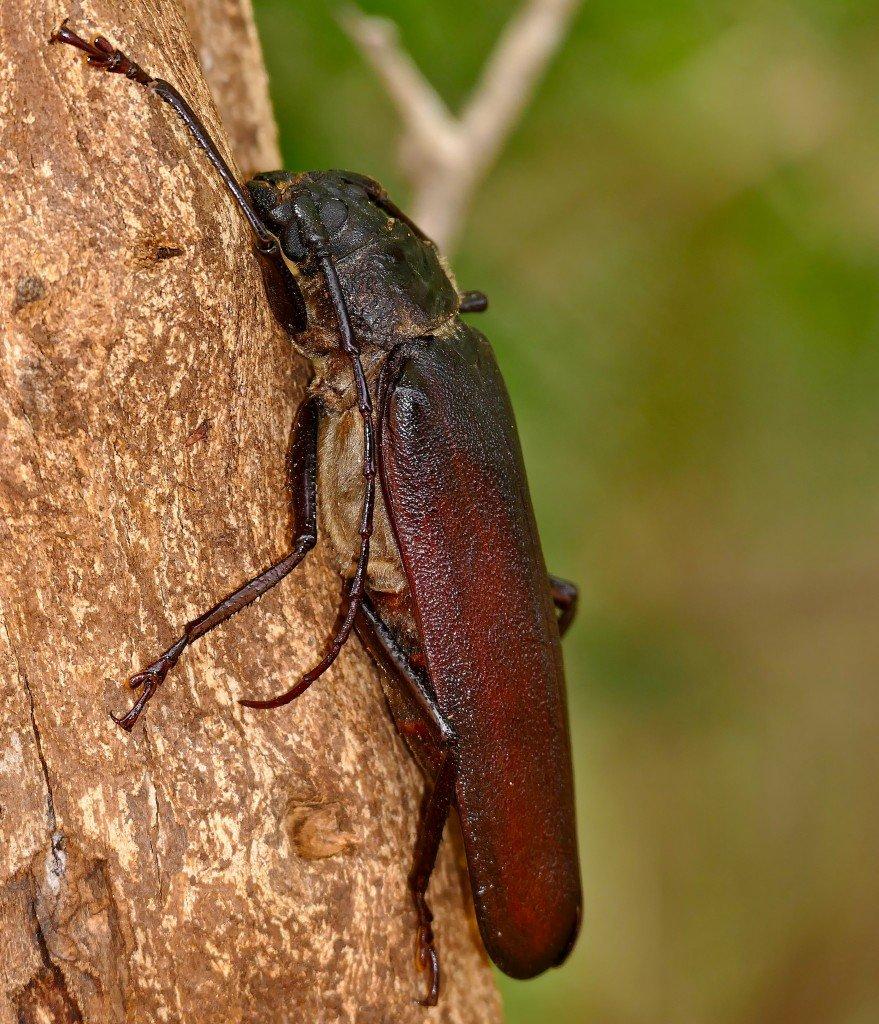 Longhorn Beetle (Macrotoma sp.)