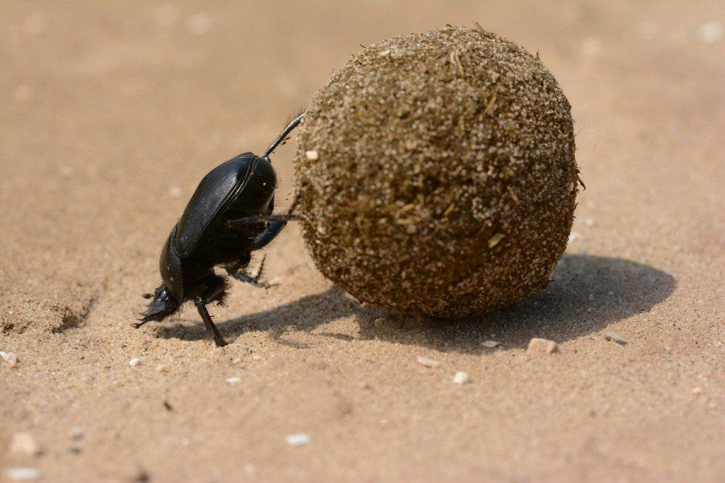 Scarab beetle feeding on animal dung