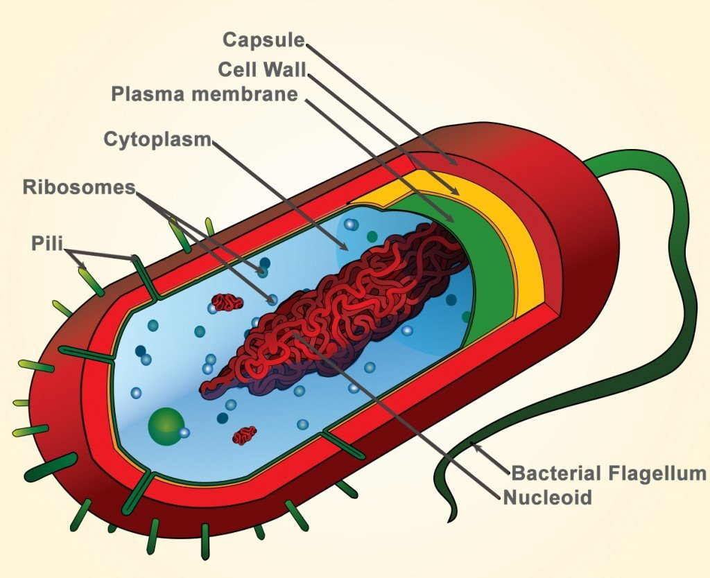 structure of bacteria