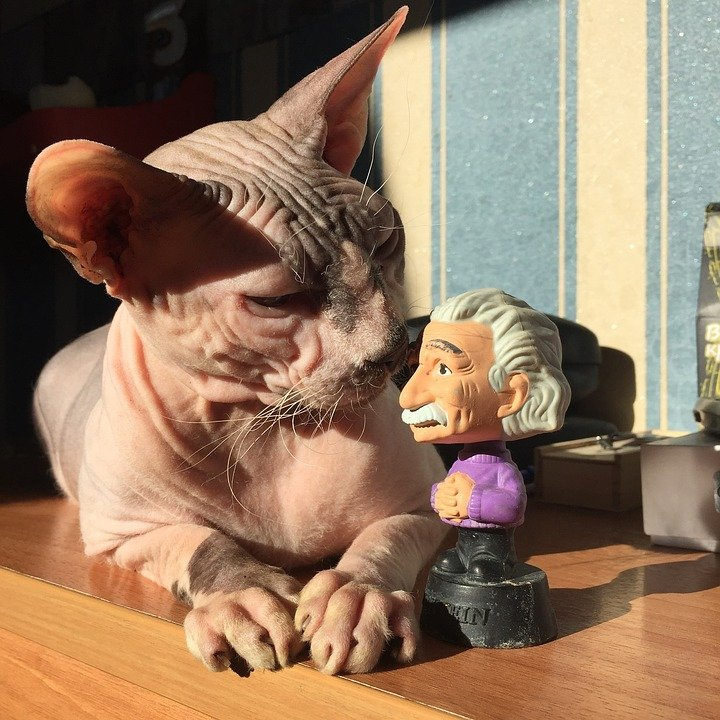 Cat Plays Cat Sphinx Toy Sphynx Einstein Bald