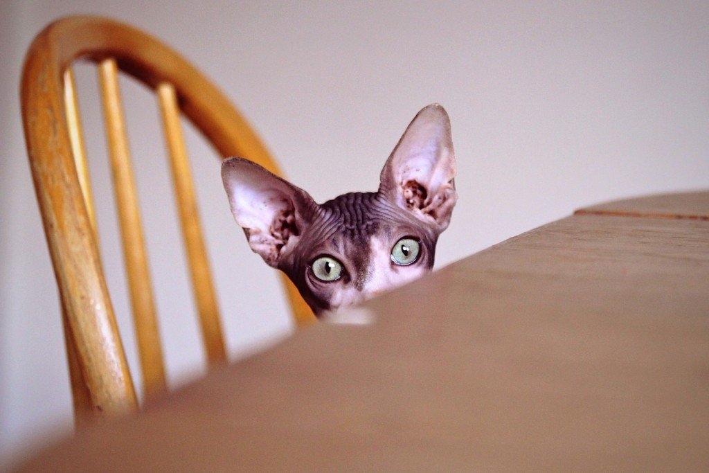 Curious and hungry Sphynx cat sitting on a dining chair