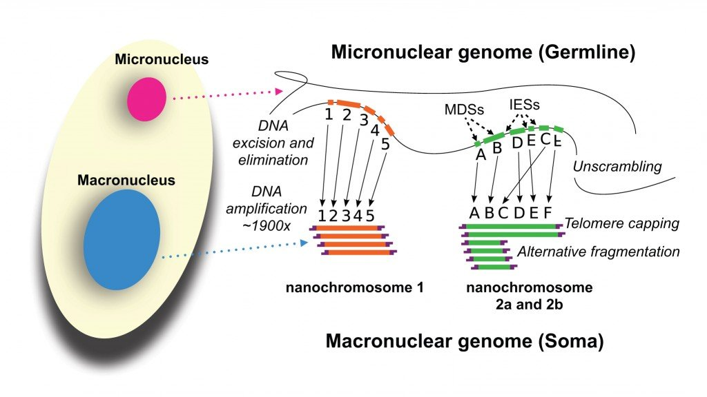 Development_of_the_Oxytricha_macronuclear_genome
