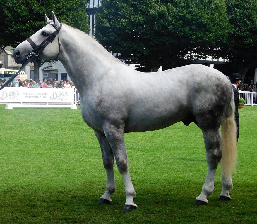 Irish draught crossbreed horse