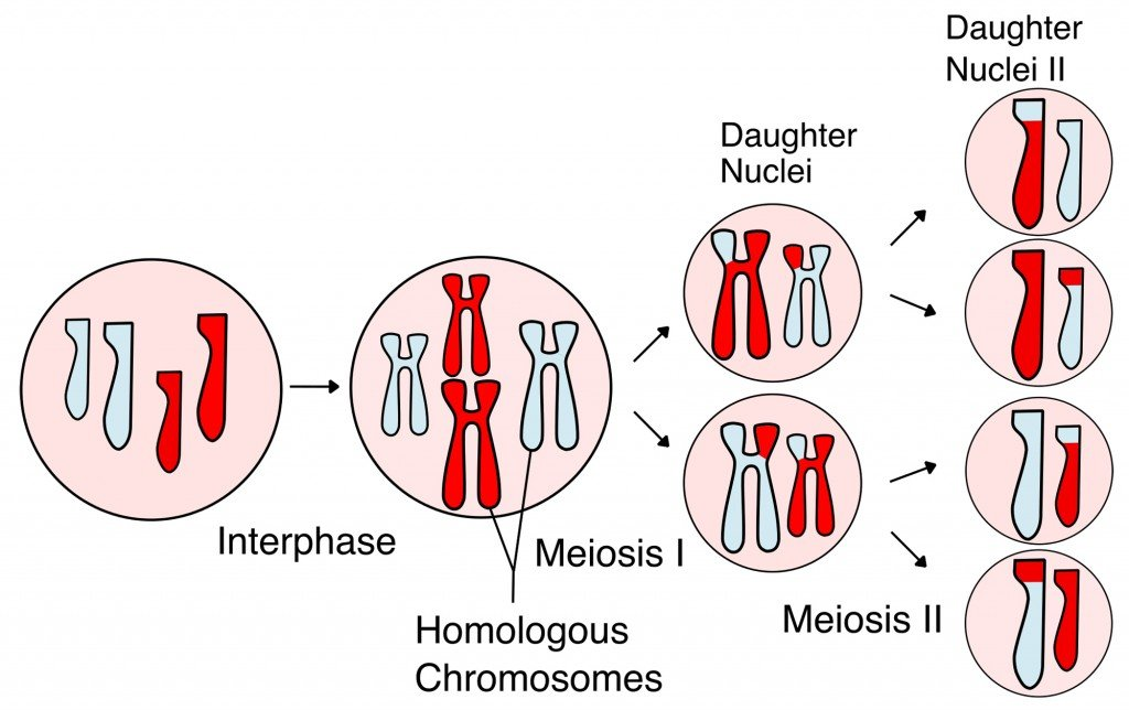 Meiosis_Overview_new