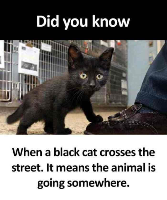 did-you-know-when-a-black-cat-crosses-the-street-it-means-the-animal-is-going-somewhere meme