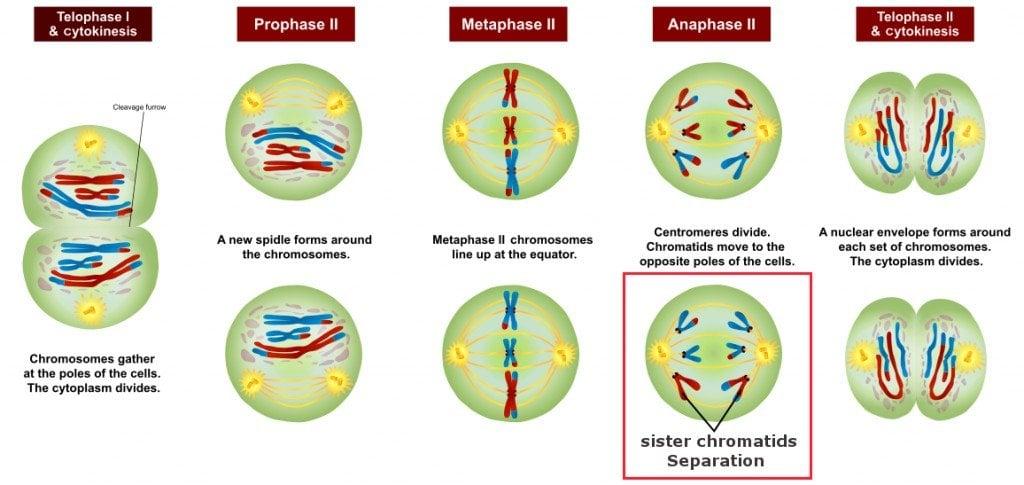 sister chromatid sepration