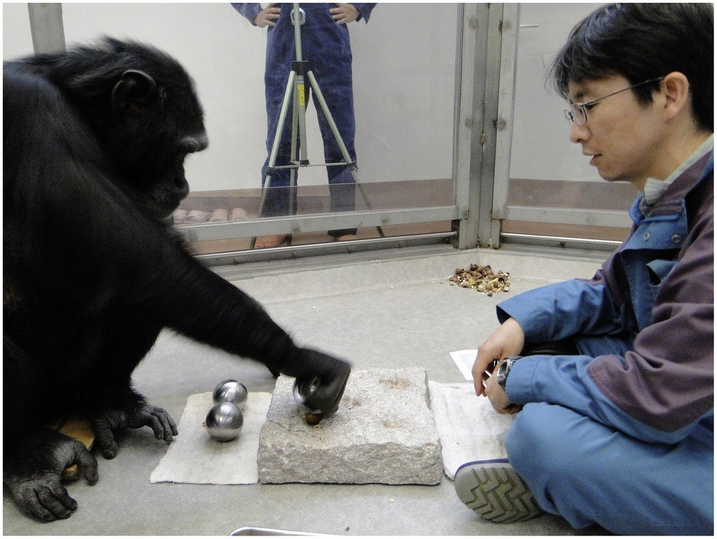 Common_Chimpanzee_uses_spherical_tool_in_the_lab