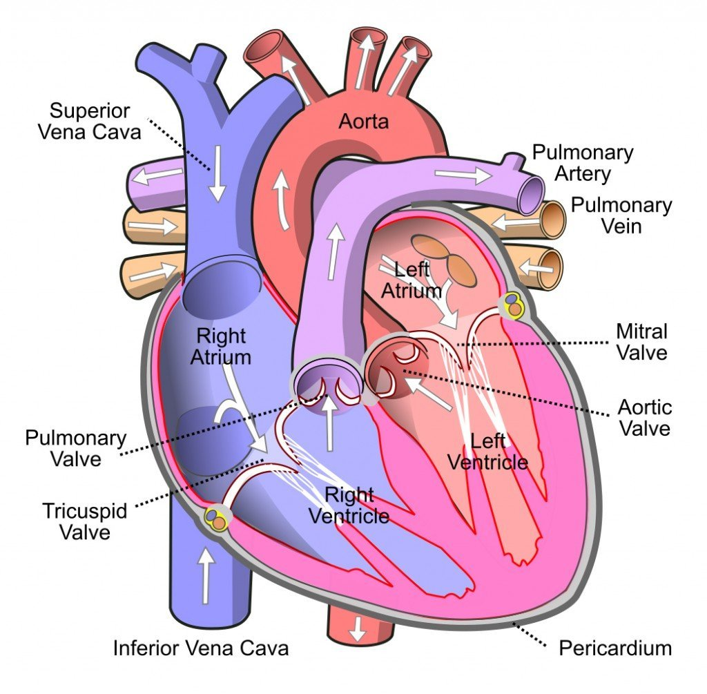 Diagram_of_the_human_heart