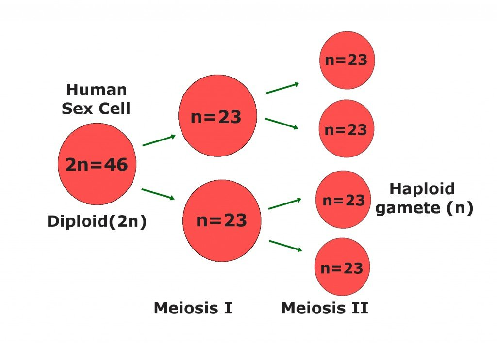 meiosis in egg
