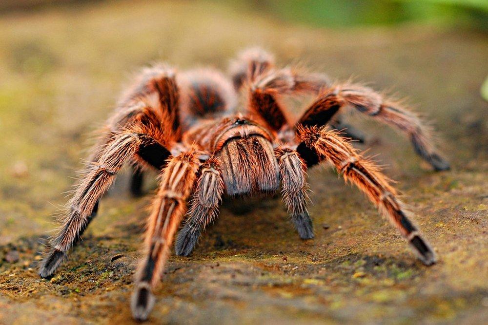 scarry spider
