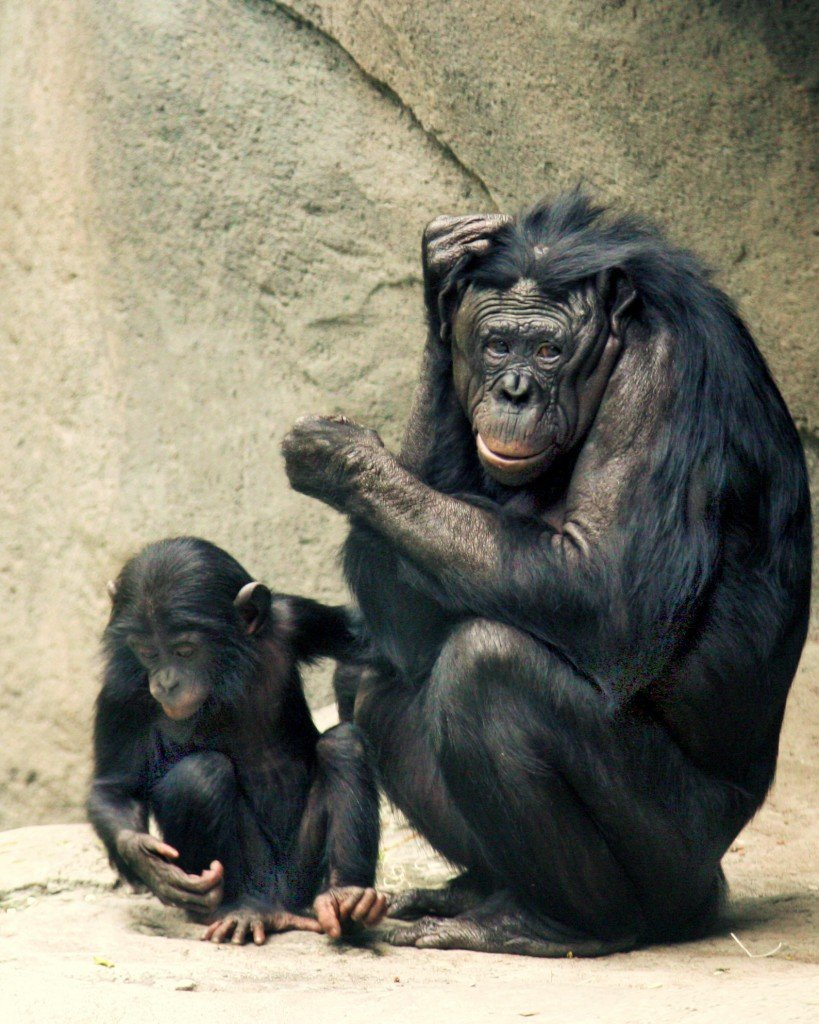 Bonobos Lana & Kesi 2006 CALVIN IMG 1301
