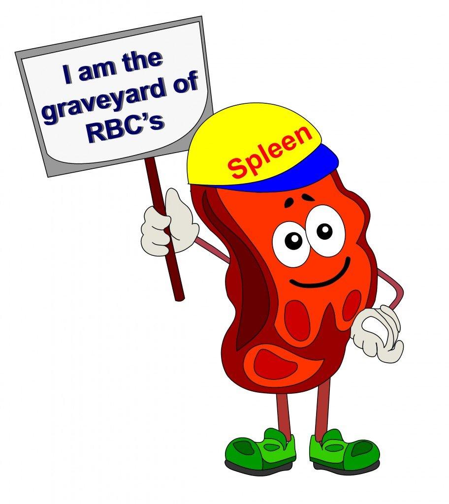 RED BLOOD CELL SPLEEN