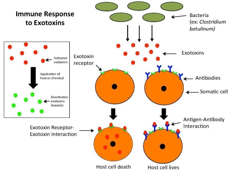 Immune_Response_to_Exotoxins