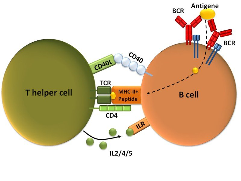 T-dependent_B_cell_activation