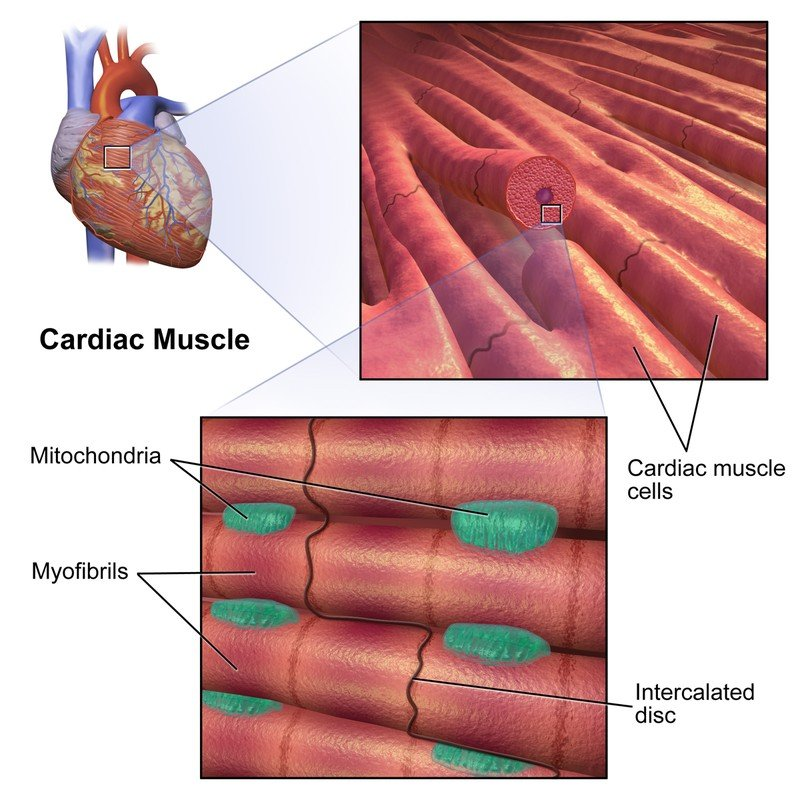 Cardiac_ muscle