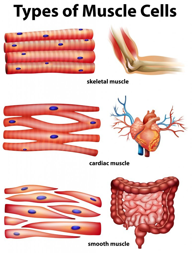 Diagram showing types of muscle cells illustration - Vector(BlueRingMedia)s