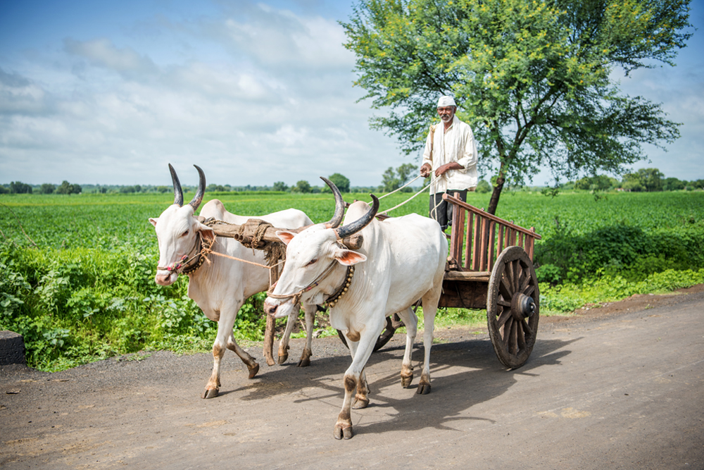 Indian farmer riding bullock cart, rural village, Salunkwadi, Ambajogai, Beed, Maharashtra, India. - Image(Tukaram.Karve)