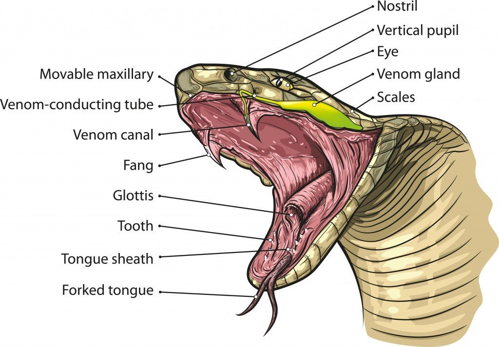 Snake mouth anatomy Vector(NoPainNoGain)