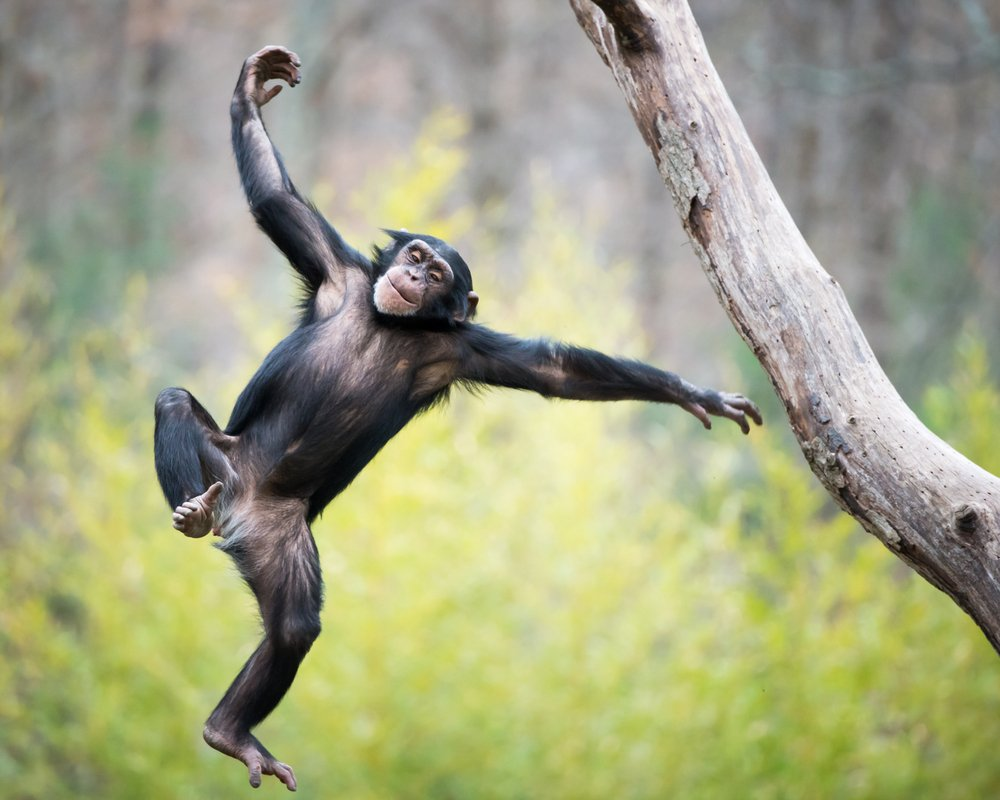 Young Chimpanzee Swinging and Jumping from a Tree - Image( Abeselom Zerit)s