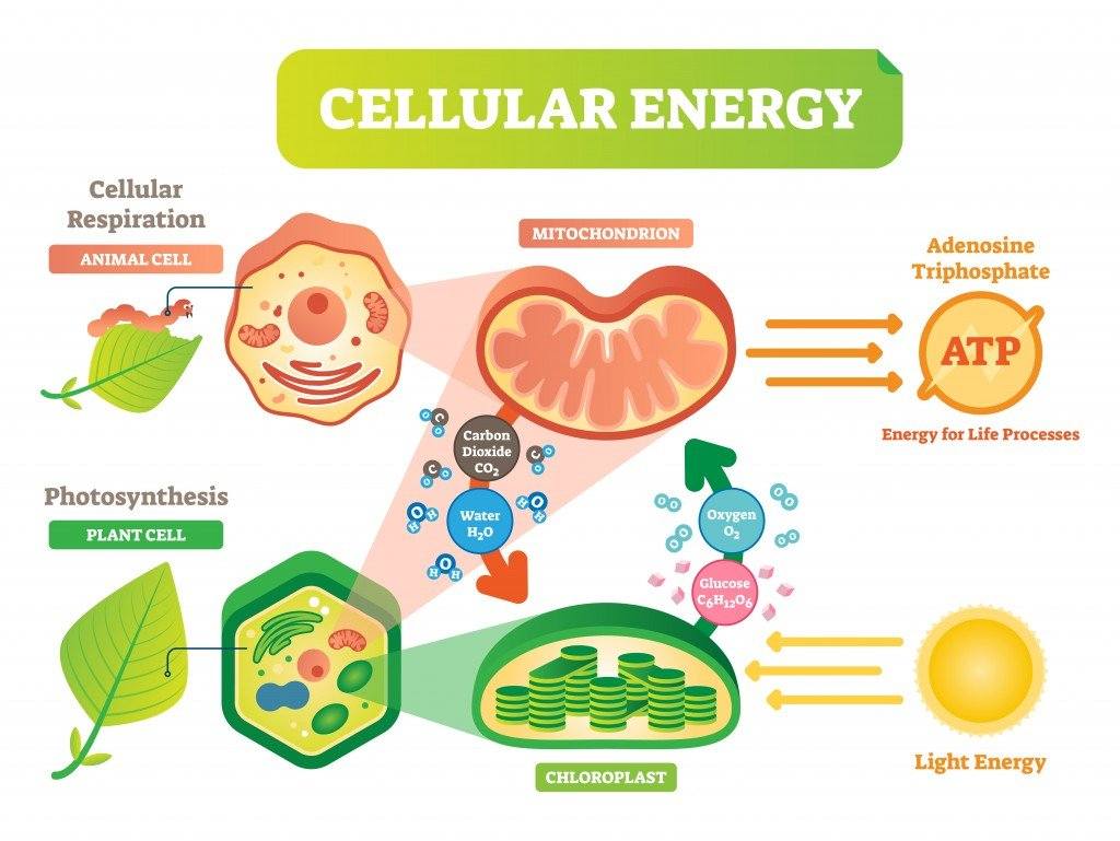 Animal and plant cell energy cycle vector illustration diagram with mitochondrion and chloroplast interaction. - Vector(VectorMine)s