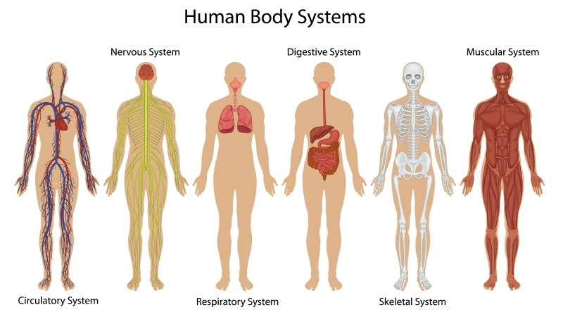 Illustration of the human body systems - Vector(GraphicsRF)S