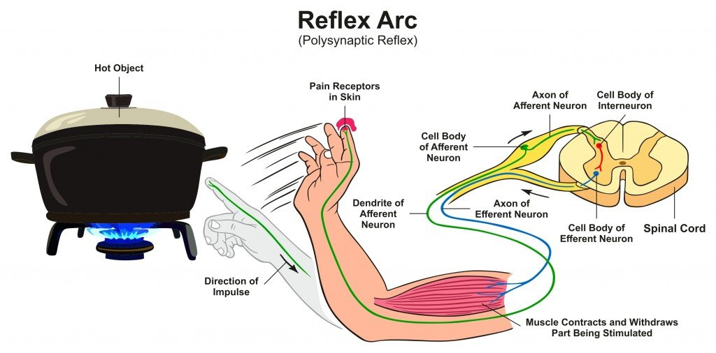 Reflex Arc infographic diagram with example of polysynaptic reflex human hand touching hot object pain receptors and direction of impulse for medical science education - Vector(udaix)s