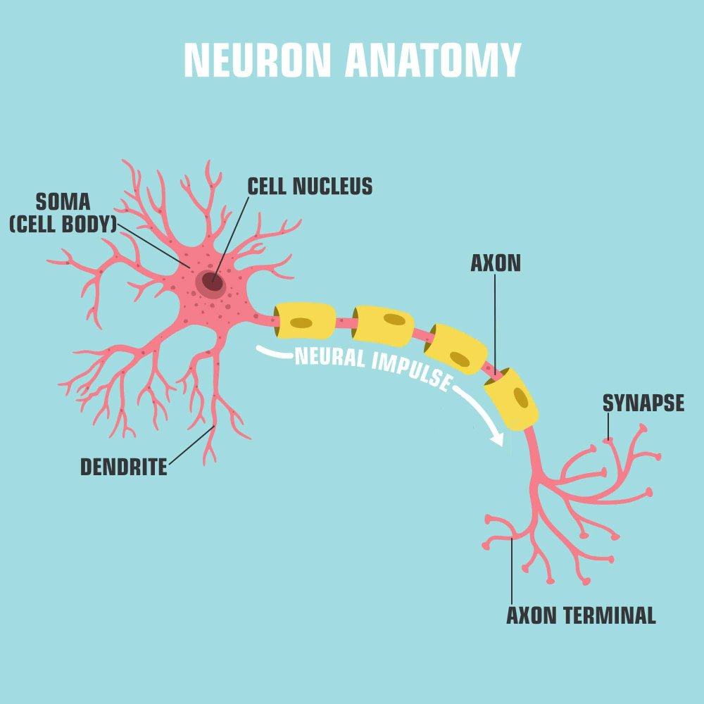 Vector scientific icon neuron structure. Description of the anatomy of the neuron of the brai(ShadeDesign)s