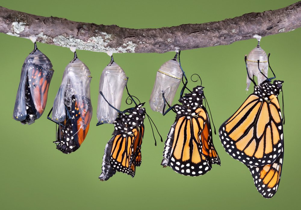 A composite of various views of a monarch emerging from a chrysalis. - Image(Cathy Keifer)s