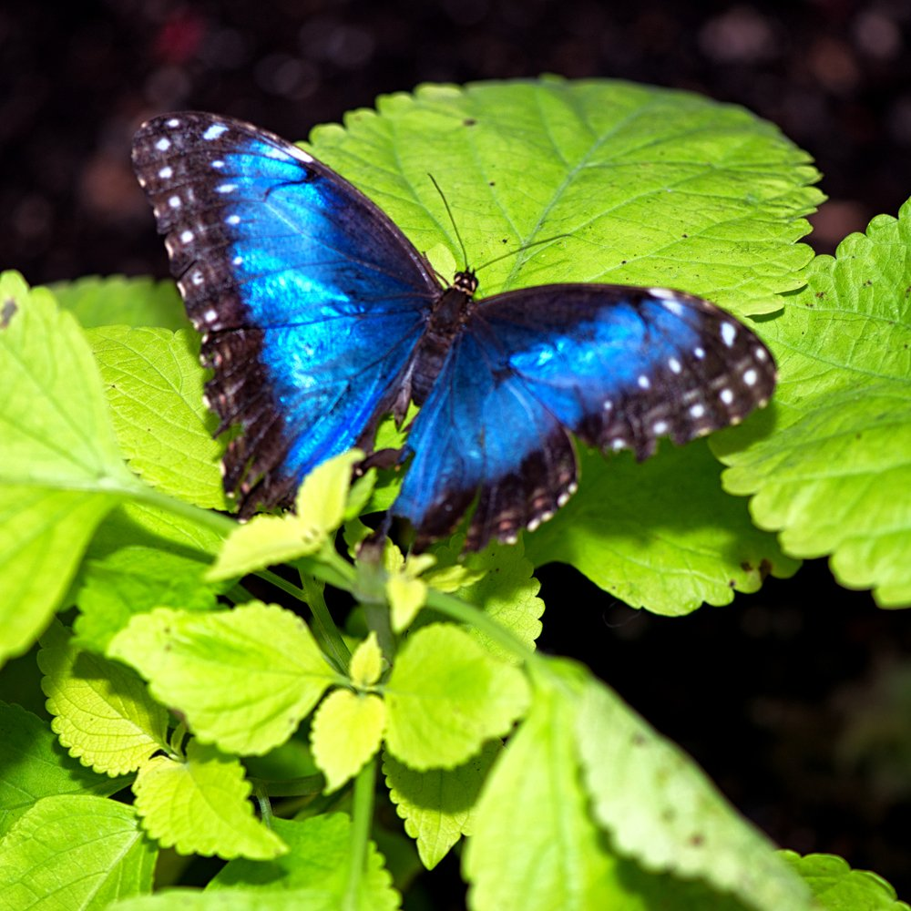 Blue Morpho - Image(Stephen Cullum)s