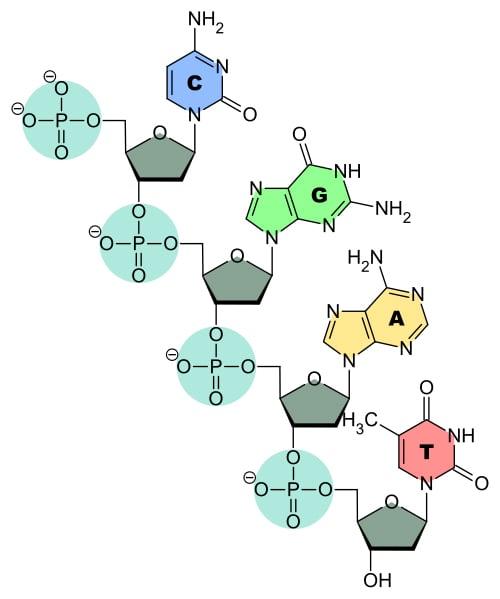 DNA-Nucleobases