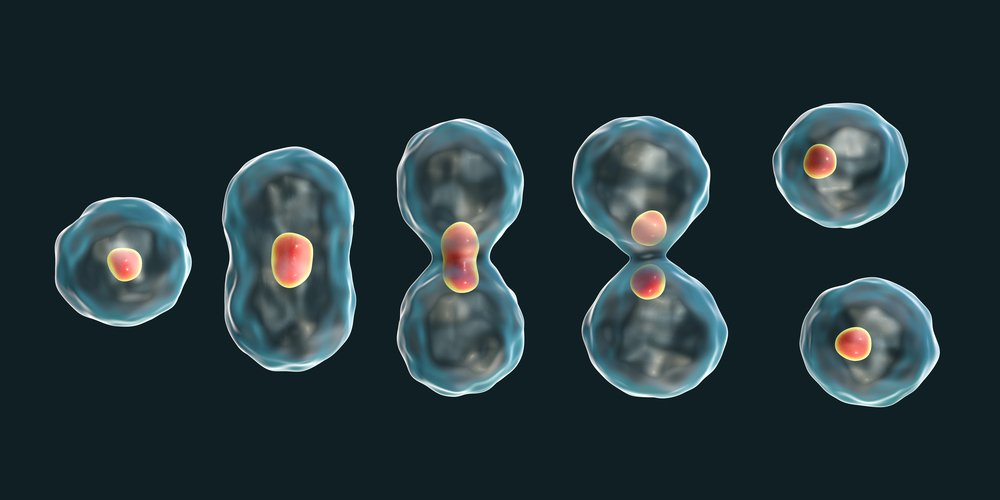 Division of a cell, mitosis concept, 3D illustration - Illustration(Kateryna Kon)s