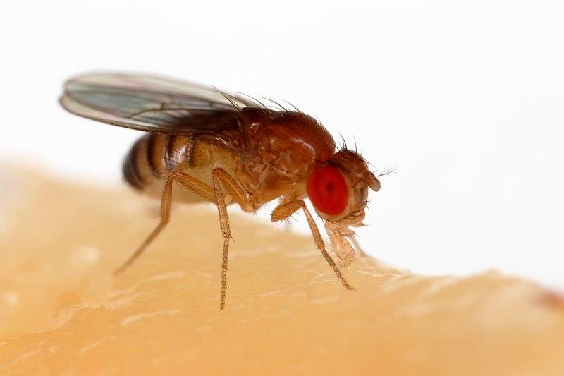 Drosophila melanogaster Proboscis