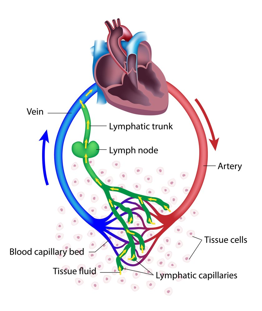 Fluid exchange between the circulatory and the lymphatic systems. - Illustration( Alila Medical Media)S