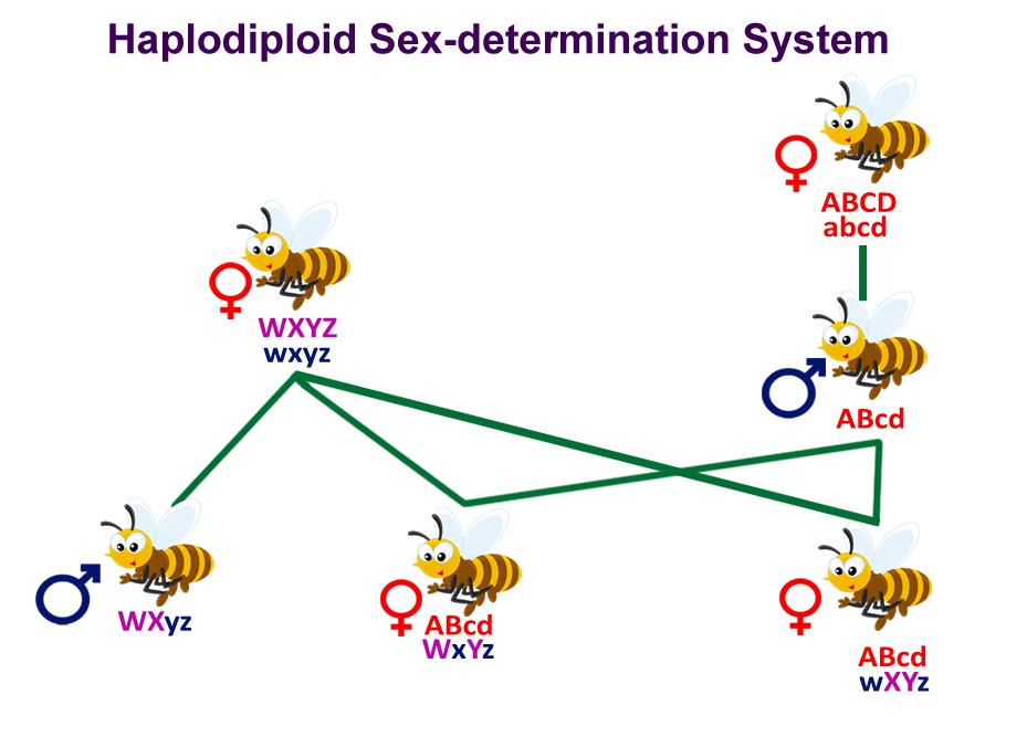 Haplodiploid Sex-determination System