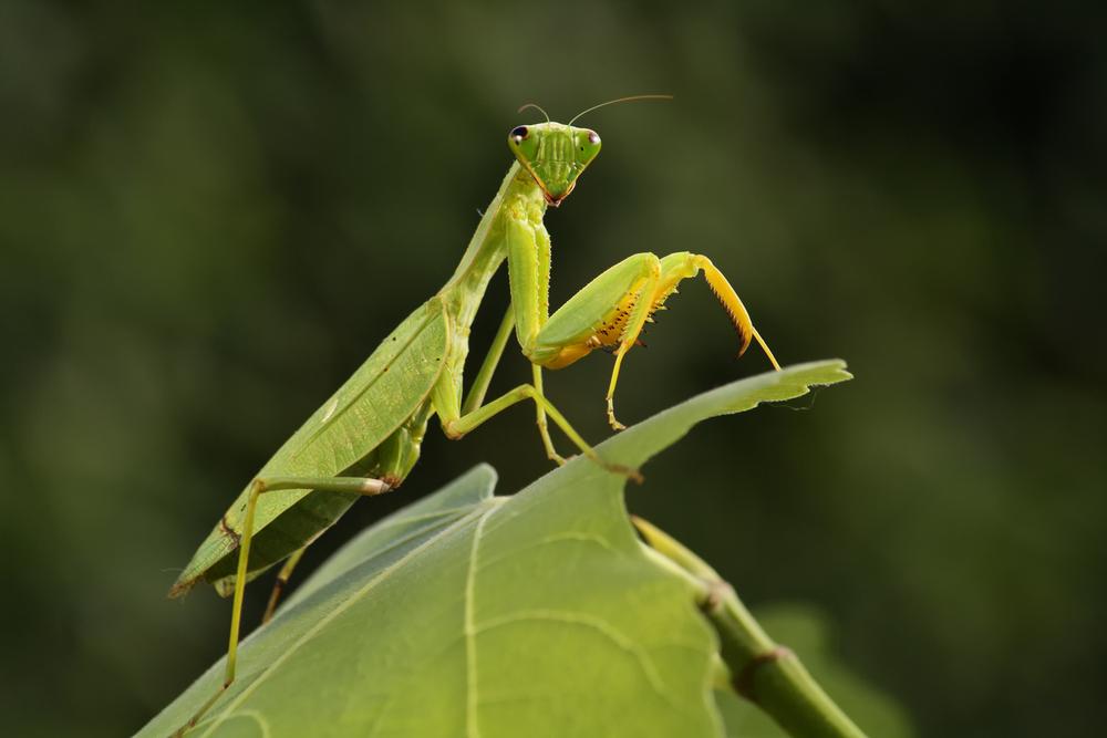 Mantis from family Sphondromantis (probably Spondromantis viridis) lurking on the green leaf - Image( Karel Bartik)s