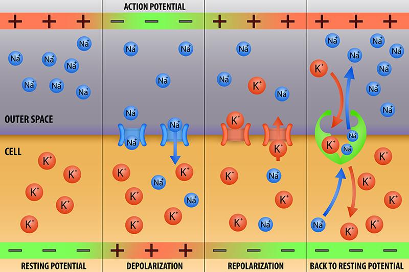 Nerve impulse action potential in neuron scheme vector illustration - Vector(extender_01)S