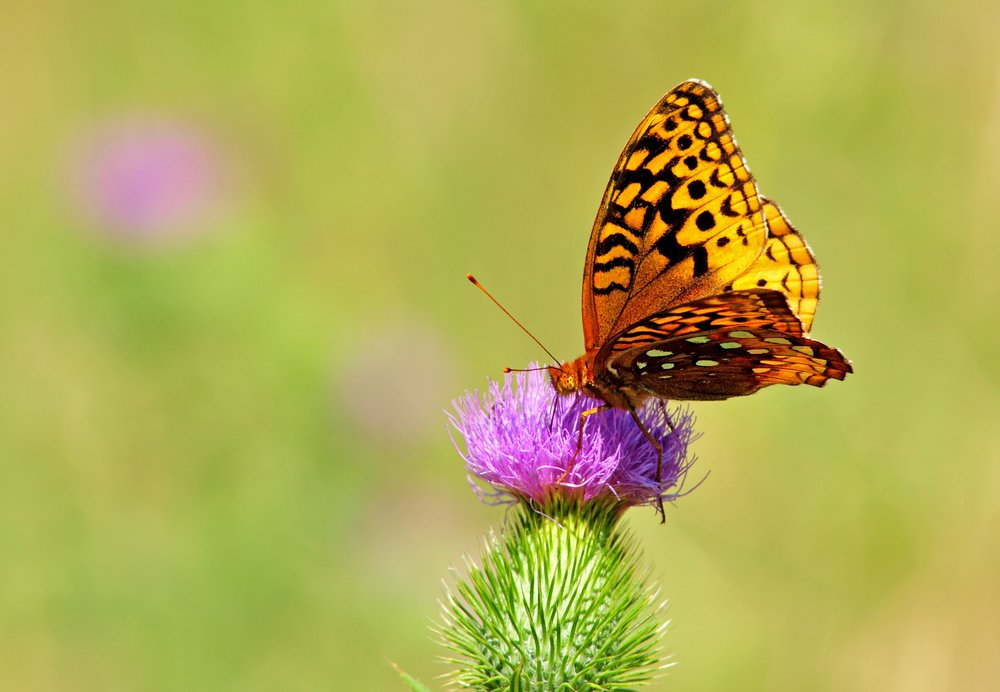 Regal fritillary butterfly, speyeria idalia, on purple flower of bull thistle plant, cirsium vulgare - Image(Nancy Bauer)S