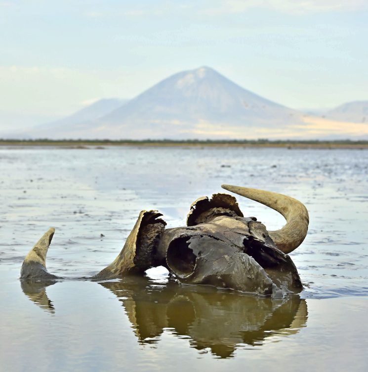 Skull of wildebeest in mud on shallow water. In the background is a volcano Langai. Lake Natron. Tanzania - Image( Sergey Uryadnikov)S