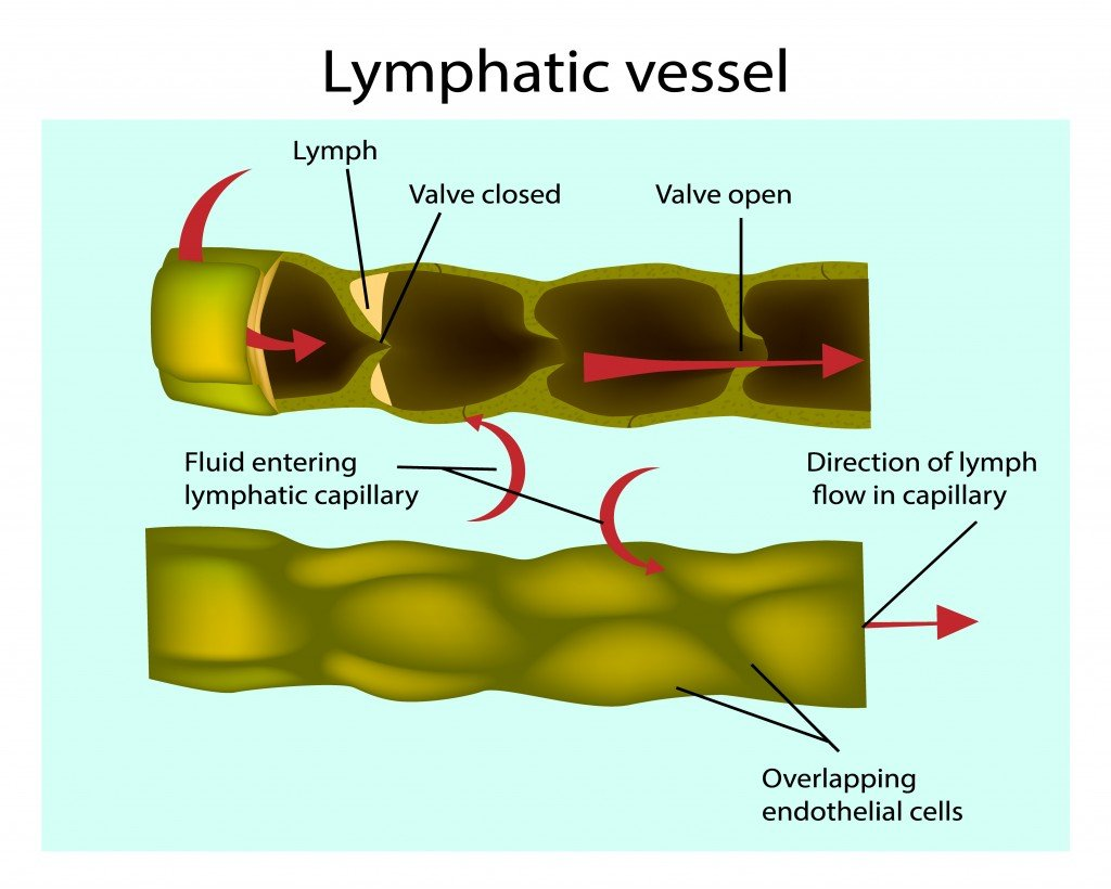 Structure of Lymphatic vessels. Longitudinal section of a lymph vessel - Vector(Sakurra)S