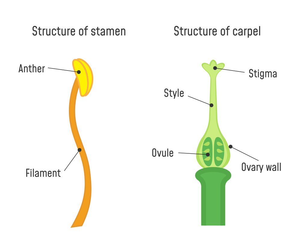 Structure of Stamen and Carpel. Flower part diagram - Illustration( Fancy Tapis)s