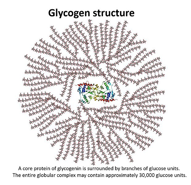 The image shows the structure of glycogen